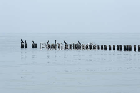 cormorant phalacrocorax carbo sitting on groynes