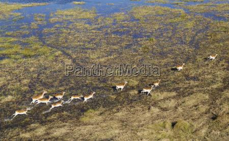 red lechwe kobus leche leche running