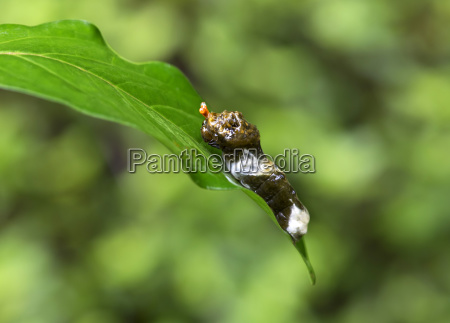 caterpillar of the tropical swallowtail butterfly
