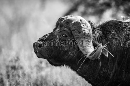 mono close up of cape buffalo