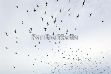 kuestenseeschwalben sterna paradisaea sealion island falklandinseln