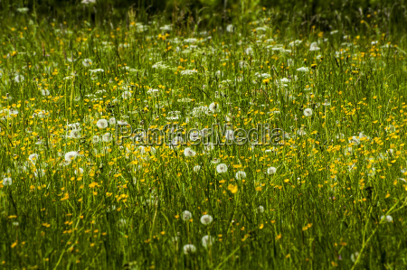 fruehlingswiese mit loewenzahn taraxacum sect ruderalia