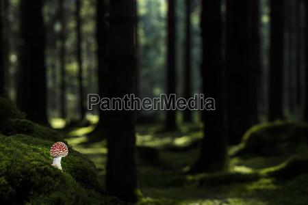 fliegenpilz amanita muscaria auf waldboden mit