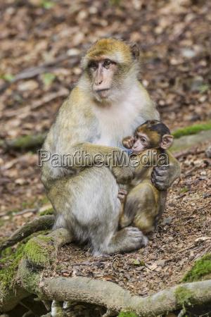 barbary macaque macaca sylvanus