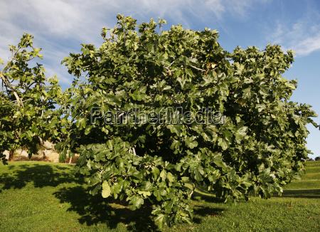 feigenbaum echte feige ficus