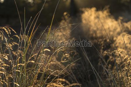 spinnenetz bei morgenstimmung ueber heidelandschaft