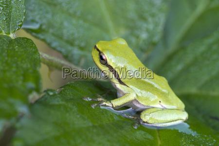 european tree frog hyla arboreacub