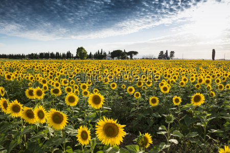 sonnenblumenfeld mit pinien und zypressen