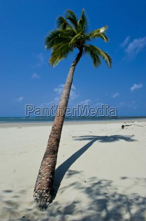 lonely palm tree cap tribulation queensland