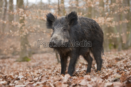 wild boar sus scrofa bache captive