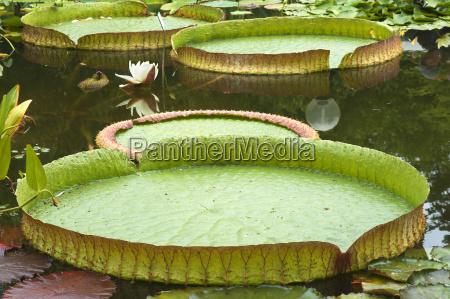 water lily nymphaeaceae victoria cruciana erlangen