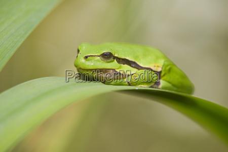 european tree frog hyla arborea sits
