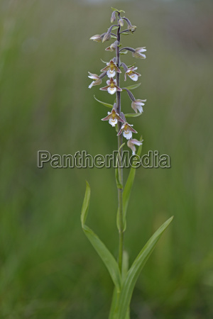 marsh orchid epipactis palustris emsland lower