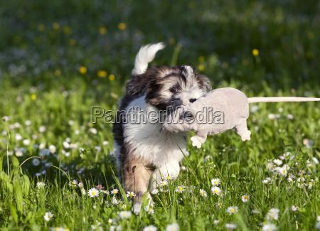 tibetterrier welpe canis lupus familiaris spielt