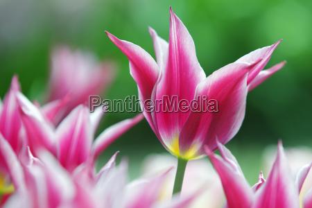 bluehende tulpen lilienbluetige tulpe sorte maytime