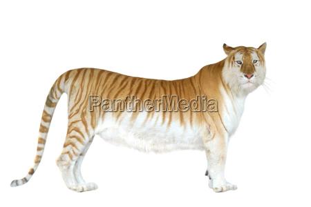 golden tabby tiger oder erdbeertiger