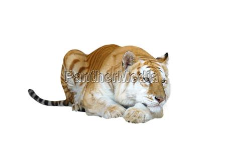 katze raubkatze grosskatze tiger golden goldgelb