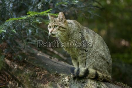 european wildcat felis silvestris gehegezone