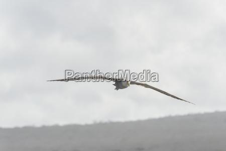 galapagosalbatros phoebastria irrorata im flug