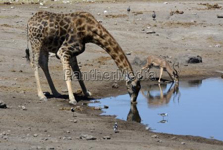 giraffe giraffa camelopardalis and impala aepyceros