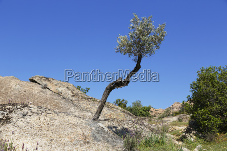 olive tree grows in rock latmos