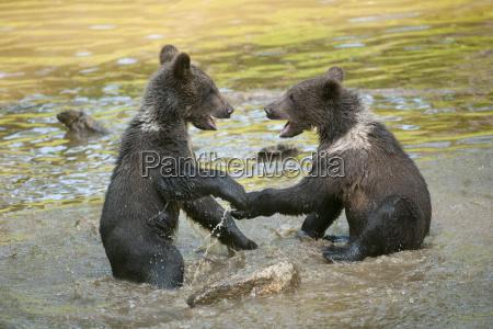 european brown bear ursus arctos playfully