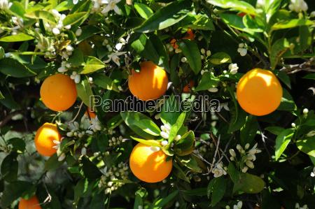 orangen citrus x sinensis am baum