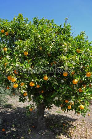 orangenbaum citrus x sinensis in einer