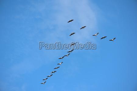 eine gruppe kraniche am himmel niedersachsen
