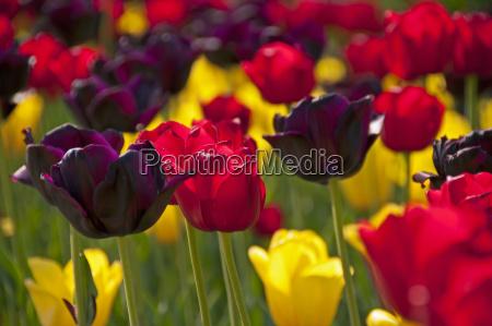 bluehende bunte tulpen tulipa