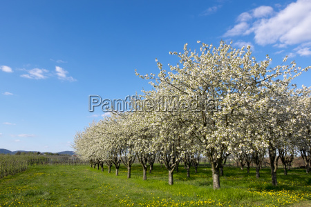 blossoming cherry trees prunus avium