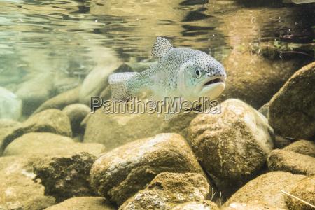 regenbogenforelle oncorhynchus mykiss unter wasser