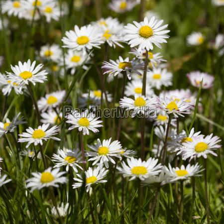 fruehlingswiese mit gaensebluemchen bellis perennis nordrhein