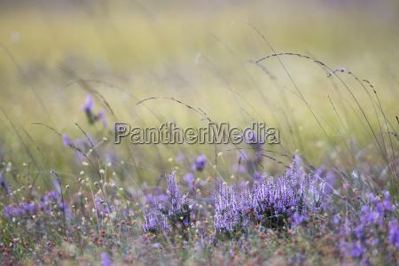 flowering heather calluna vulgaris and white