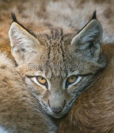 lynx lynx lynx young lynx nestles