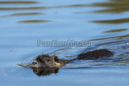 nutria myocastor coypus schwimmt im wasser