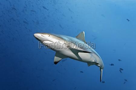 grauhai carcharhinus amblyrhynchos schwimmt durch schwarm
