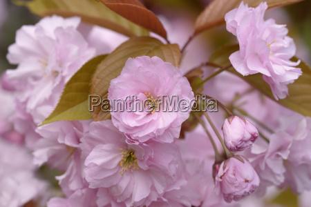japanische bluetenkirsche prunus serrulata dunkelrosa