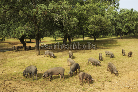 grazing pigs and holm oaks quercus