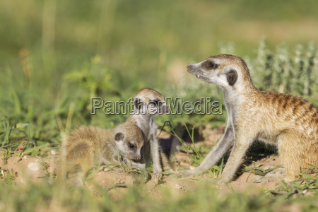 suricate suricata suricatta also called meerkat
