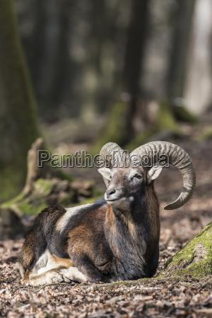 europaeischer mufflon ovis orientalis musimon