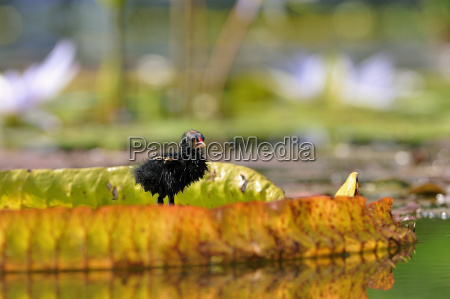 teichrallenkueken gallinula chloropus stands on the