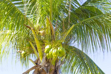 kokospalme cayo santa maria kuba republik