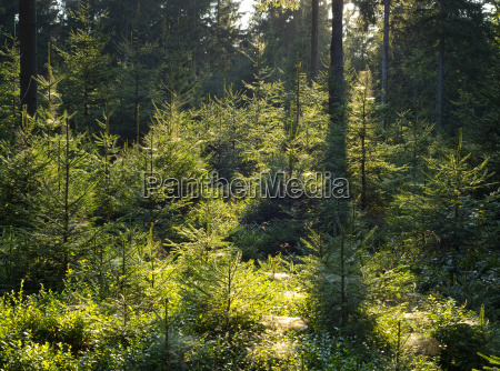 fichtenwald gemeine fichte picea abies im