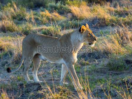 lioness panthera leo in the morning