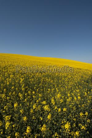 big blooming rape field brassica napus