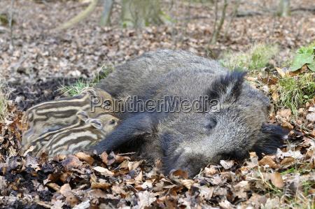 wild boar sus scrofa bache sucks