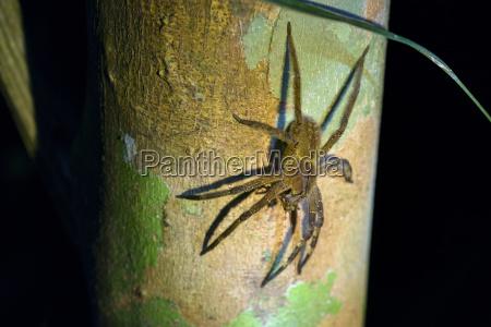 brasilianische wanderspinne phoneutria spp mit beute
