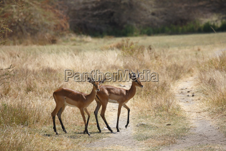 black heel antelope impala aepyceros melampus