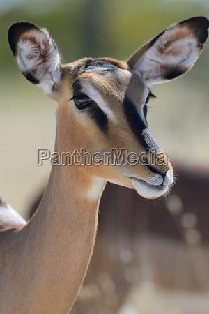 black faced impala aepyceros melampus petersi